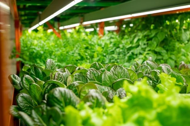 Nahaufnahme verschiedener salatsorten, die unter einem vertikalen landwirtschaftssystem mit led-lampen wachsen