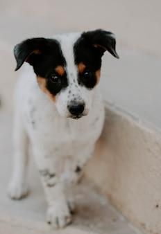 Nahaufnahme vertikaler schuss eines babys ratonero bodeguero andaluz hund