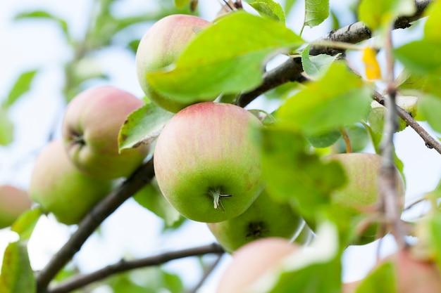 Nahaufnahme von äpfeln, die auf den bäumen im obstgarten wachsen. die sommersaison, eine kleine schärfentiefe
