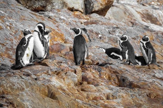 Nahaufnahme von afrikanischen pinguinen in einer steinigen gegend in südafrika