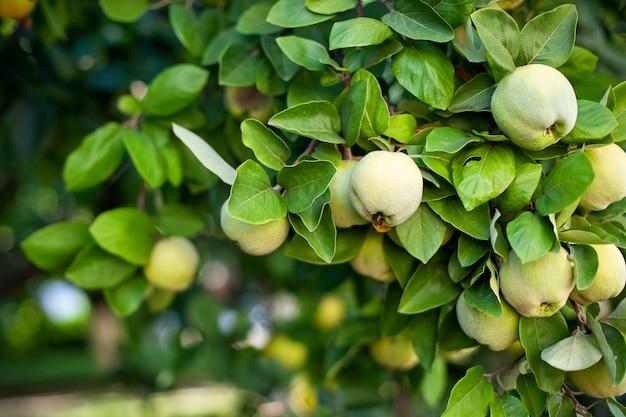 Nahaufnahme von apfelquittenfrüchten unter üppigem grünem laub auf ästen im herbstlichen park. bio-gartenbau. frische quitten am baum. der ländliche garten. erntekonzept. vitamine, vegetarismus, früchte
