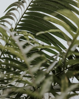 Nahaufnahme von areca-palmenblättern