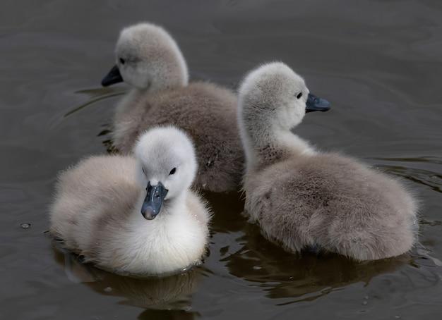Nahaufnahme von babyschwänen, die in einem see schwimmen