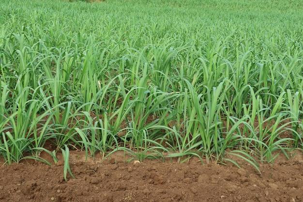 Nahaufnahme von babyzuckerrohr in den rohrfeldern natur- und landwirtschaftskonzept