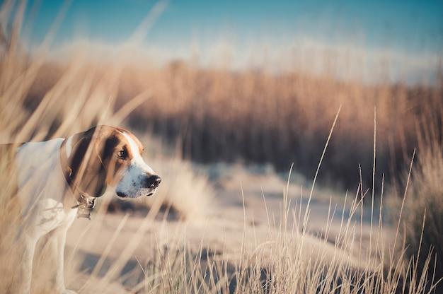Nahaufnahme von beagle-harrier auf den feldern