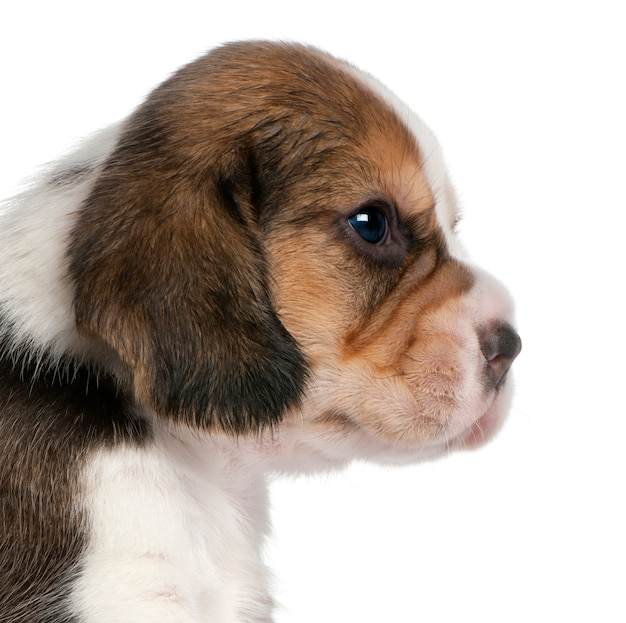 Nahaufnahme von beagle puppy, 1 monat alt,