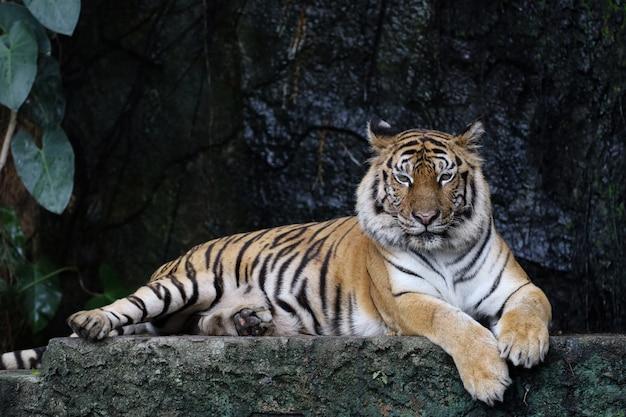 Nahaufnahme von bengal-tiger im wald