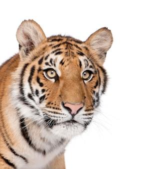 Nahaufnahme von bengal tiger, panthera tigris tigris isoliert
