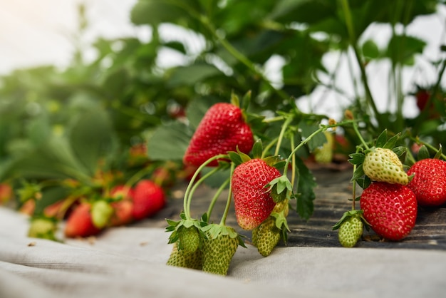 Nahaufnahme von bio-erdbeeren, die im gewächshaus wachsen