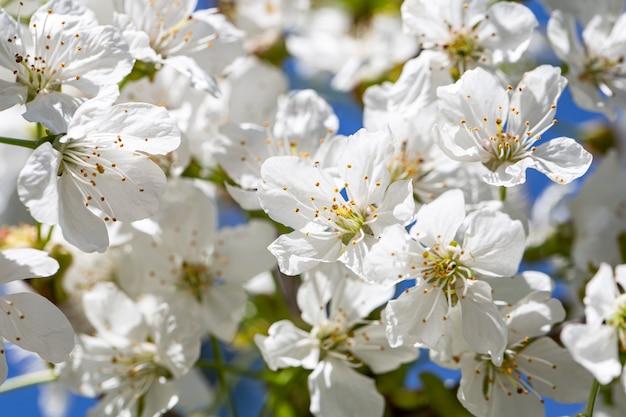 Nahaufnahme von blumen auf einem blühenden apfelbaum