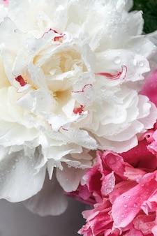 Nahaufnahme von blumen pfingstrosen. weiße und rosa pfingstrosen nahaufnahme. hintergründe für blogger, beauty-meister.