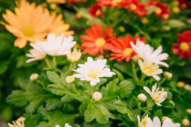 Nahaufnahme von bunten chrysanthemenblumen im garten