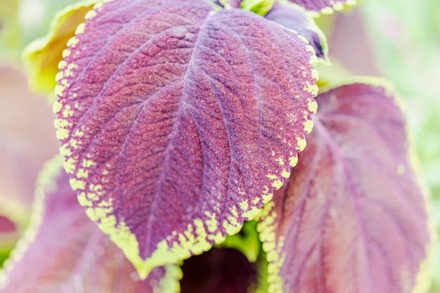 Nahaufnahme von coleus verlässt (bemalte brennnessel). landschaftsdesign. eine helle pflanze mit schönen füchsen im garten.