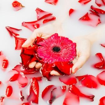 Nahaufnahme von den blumenblättern, die auf wasser mit der hand der frau rote blume halten schwimmen
