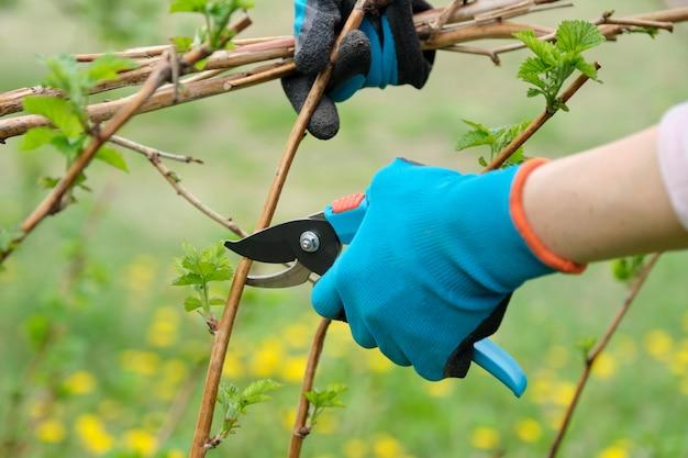Nahaufnahme von den händen, die frühlingsbeschneidung von himbeerbüschen tun