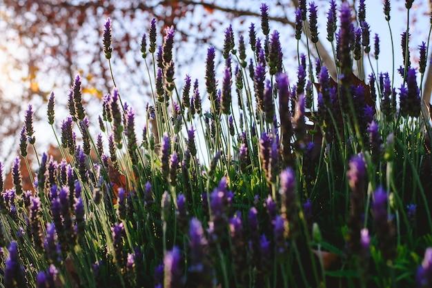 Nahaufnahme von den lavendelblumen, die während des frühlinges blühen.