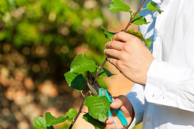 Nahaufnahme von den männlichen händen, die obstbaum mit trimmer schneiden