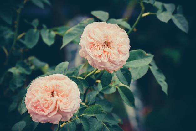 Nahaufnahme von den schönen rosarosenblumen, die im garten blühen.
