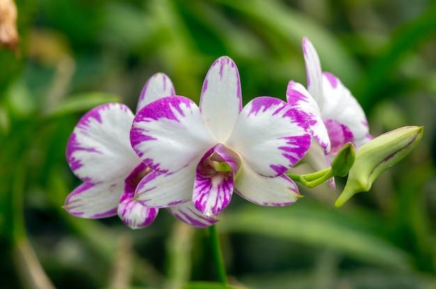 Nahaufnahme von dendrobium enobi orchidee im kinderzimmer