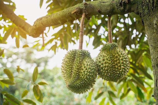 Nahaufnahme von durain auf dem baum, thailand-früchte-konzept