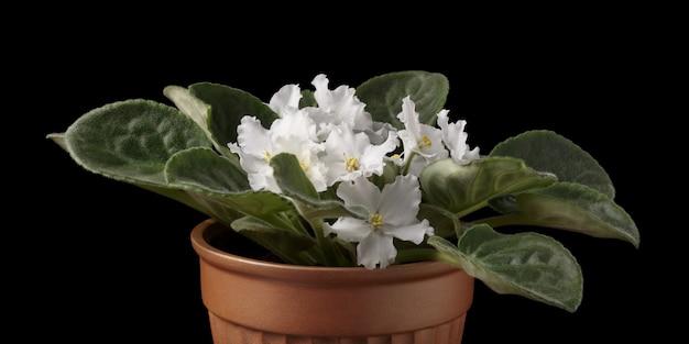 Nahaufnahme von eingemachten usambaraveilchen mit weißen blüten auf schwarzem hintergrund.