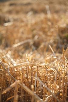 Nahaufnahme von einzelnen weizenähren gegen einen hintergrund der unscharfen stoppeln von einem weizenfeld