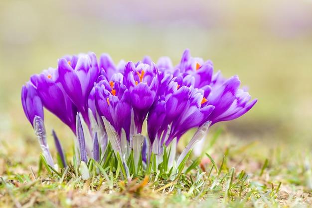 Nahaufnahme von erstaunlichen blühenden violetten krokussen im karpatengebirgstal am hellen frühlingsmorgen. schutz der natur und schönheit des lebenskonzeptes.