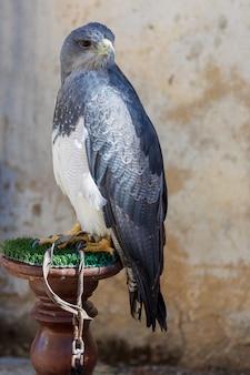 Nahaufnahme von erwachsenen des schildadlers (geranoaetus melanoleucus). auch brombeere, paramuna, mooradler, schwarzaugenadler, schwarzbrustadler, mamani oder steinadler genannt. ring für falknerei.