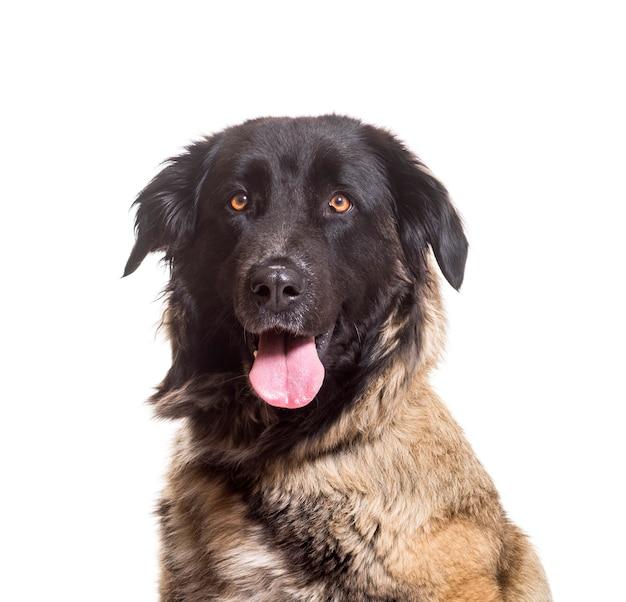 Nahaufnahme von estrela mountain dog keuchend