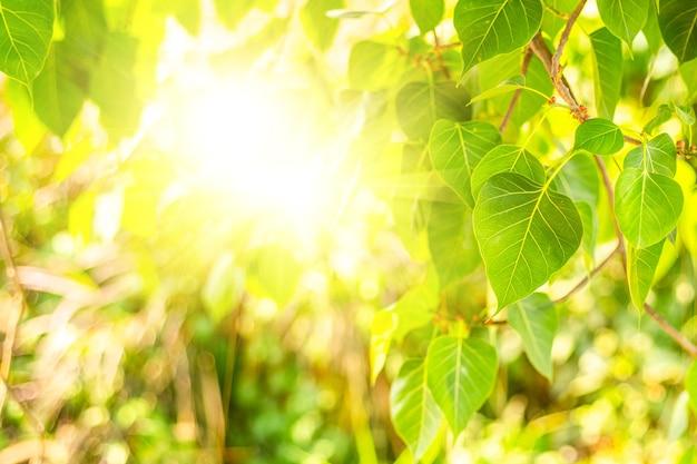 Nahaufnahme von frischem grünem bo-blatt mit sonnenlicht am morgen. bodhi-pipal-baum baumblätter