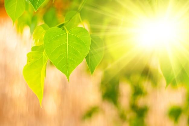 Nahaufnahme von frischem grünem bo-blatt mit sonnenlicht am morgen. bodhi-pipal-baum baumblätter Premium Fotos