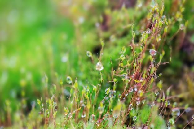 Nahaufnahme von frischem grünem moos im gewächshaus auf unscharfem hintergrund mit selektivem fokus. das bild wurde im botanischen garten aufgenommen. moskau, russland.