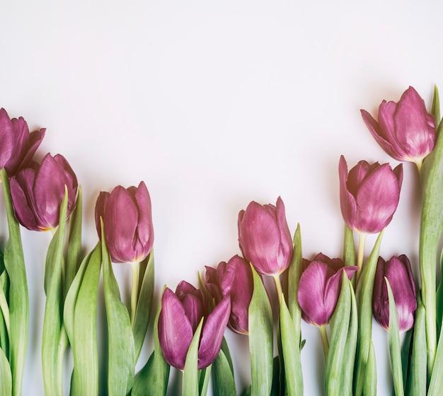 Nahaufnahme von frischen blütentulpen auf lokalisiertem weißem hintergrund