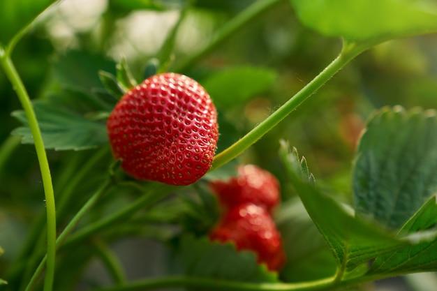 Nahaufnahme von frischen reifen erdbeeren im gewächshaus angebaut