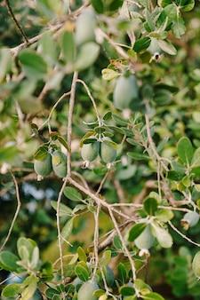 Nahaufnahme von früchten auf dem feijoa-baum, akka sellova, ananasgras