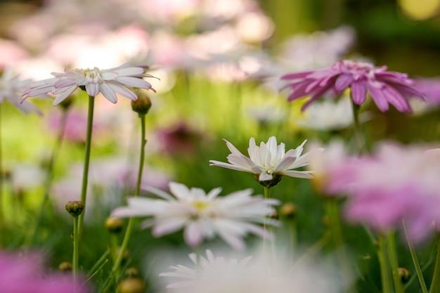 Nahaufnahme von gänseblümchenblumen