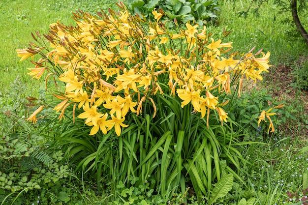 Nahaufnahme von gelbe lilie blume. hemerocallis wird auch zitronenlilie, gelbe taglilie genannt