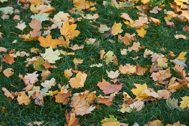 Nahaufnahme von gelben ahornblättern auf dem grünen gras des rasens, selektiver fokus