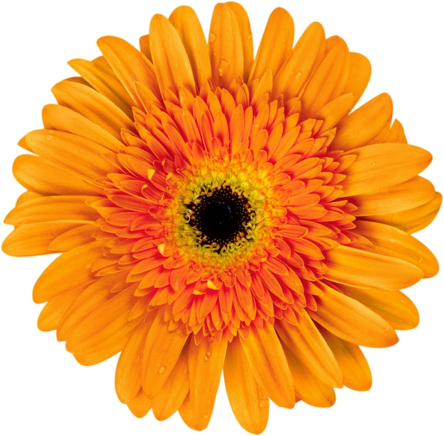 Nahaufnahme von gerber daisy flower