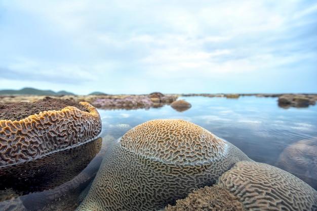 Nahaufnahme von gerillten hirnkorallen flaches wasser