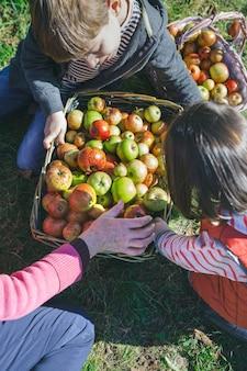 Nahaufnahme von glücklichen kindern und älteren frauen, die frische bio-äpfel in weidenkörbe mit obsternte setzen. familienfreizeitkonzept.