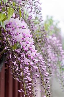 Nahaufnahme von glyzinienblumen, die an einem zaun in der straße hängen