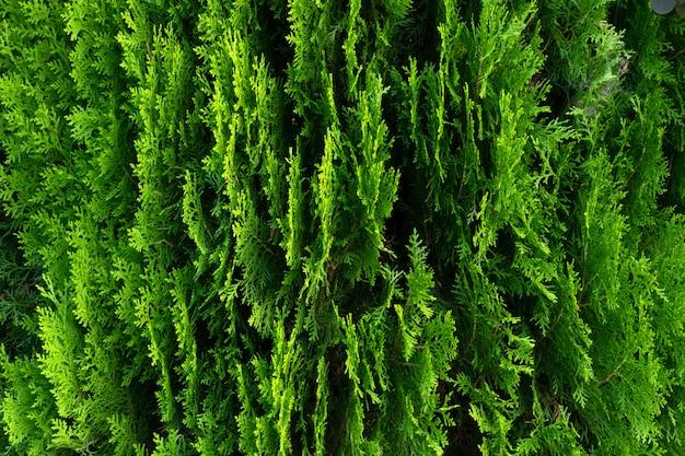 Nahaufnahme von grünen blättern von thujabäumen