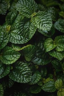 Nahaufnahme von grünen greeping charlie (pilea nummulariifolia) blätter für den hintergrund. makrofotografie.