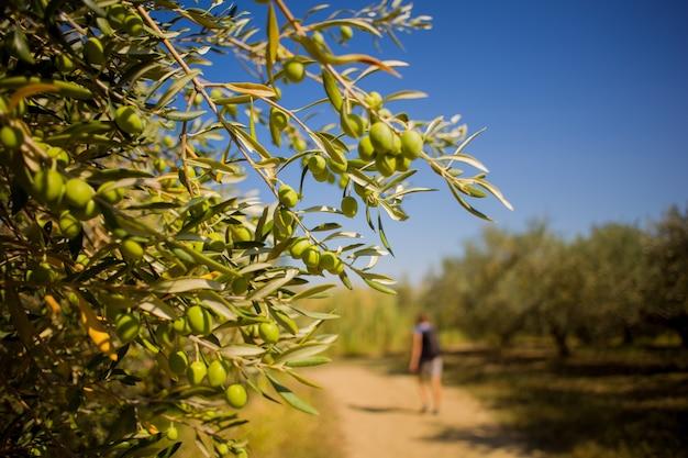 Nahaufnahme von grünen istrischen oliven auf einem zweig