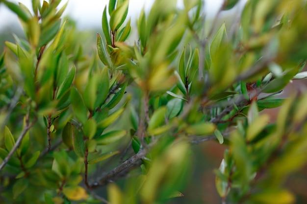 Nahaufnahme von grünen pflanzen, busch der insel korsika, frankreich. vegetationstemperatur. horizontale ansicht.