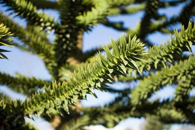 Nahaufnahme von grünen zweigen eines araukarienbaums