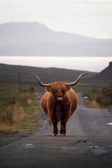 Nahaufnahme von haarigen schottischen hochlandrindern