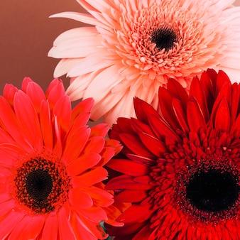 Nahaufnahme von hellen gerberablumen