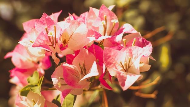 Nahaufnahme von hellen rosa bouganvillablüten.